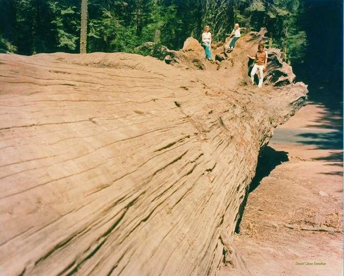 fallenredwood.jpg